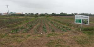 Cultivation of Bora on a section of Crop Farm 2